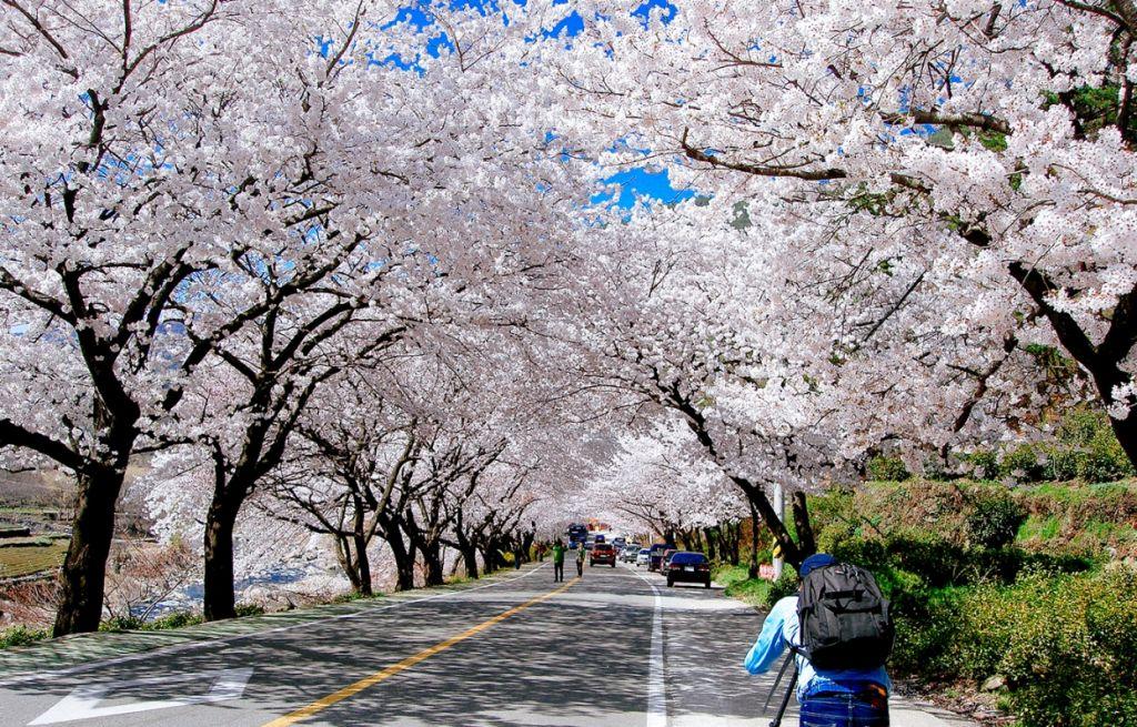 Vé máy bay khuyến mãi tham quan lễ hội hoa Hàn Quốc