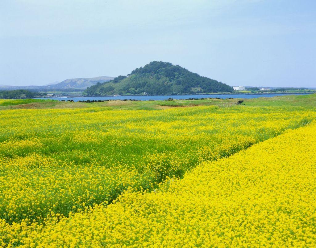 Sắc màu vàng rực rỡ của những cánh đồng hoa cải dầu