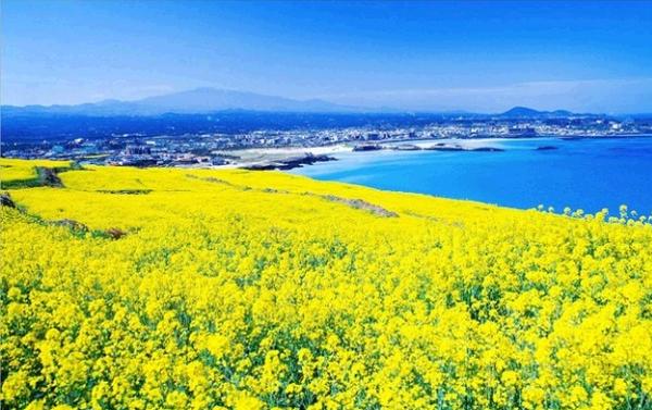 Những vườn cải dầu vàng tươi Nhật Bản