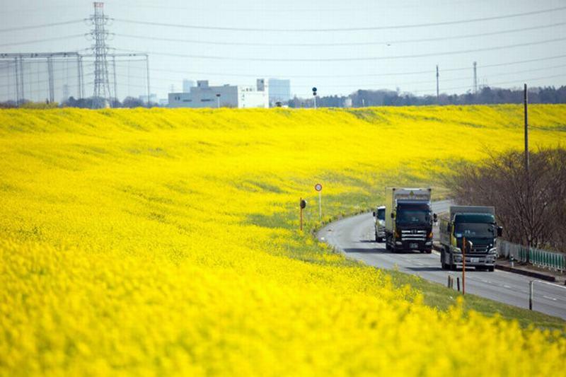 Những con đường ngập tràn hoa cải dầu