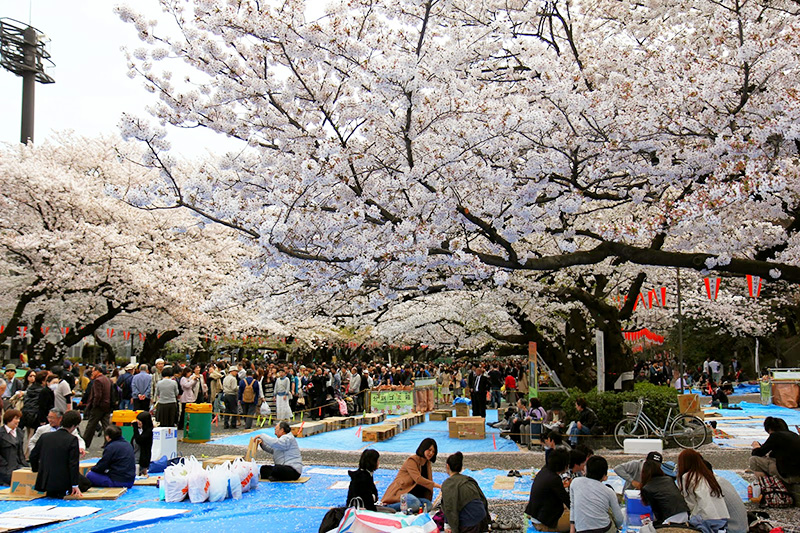 Lễ hội hoa anh đào ở Nhật