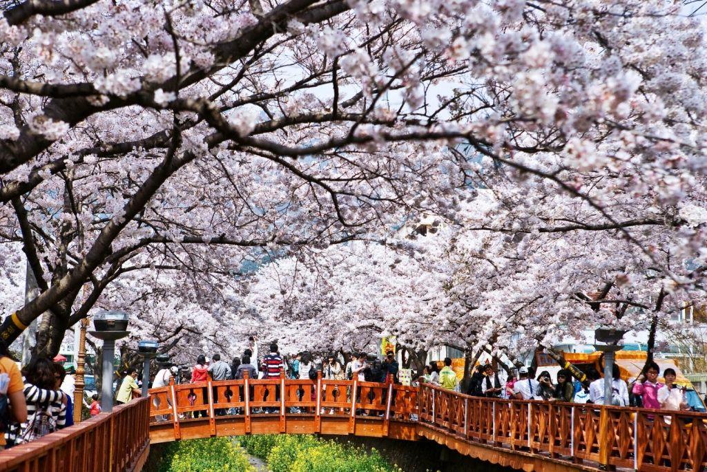 Ngắm hoa anh đào ở đảo Jeju