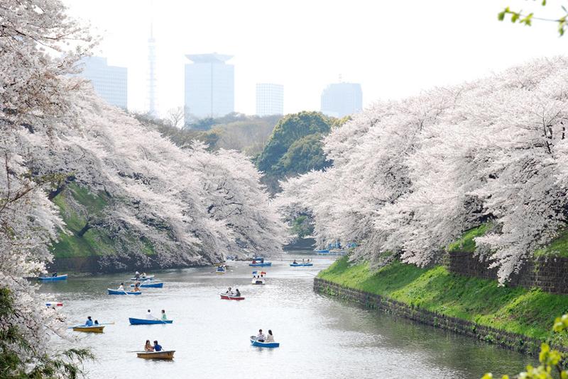 Vé máy bay khuyến mãi đi Nhật ngắm hoa anh đào