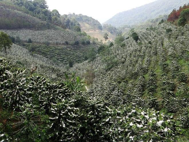 Hoa Cà phê đặc trưng của Tây Nguyên đầy nắng và gió