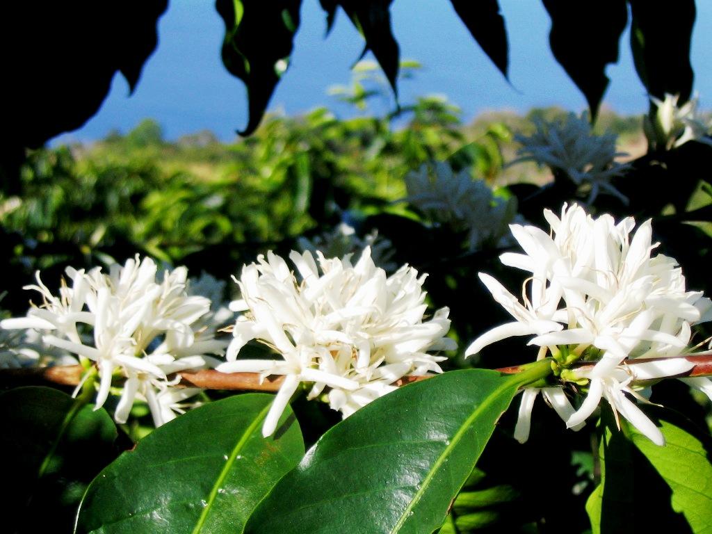 Bông hoa cà phê trắng tinh khiết