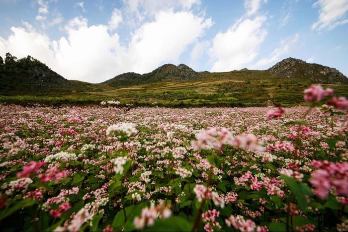 Mê mẩn với cánh đồng hoa tam giác mạch Hà Giang