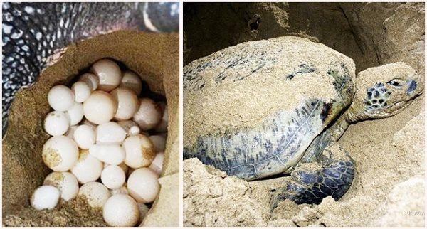 Xem rùa đẻ trứng