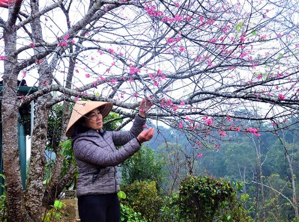 Vườn anh đào Mường Phăng
